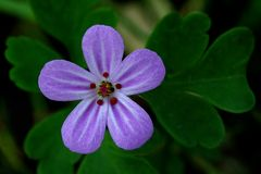 Herb Robert Stock Photos