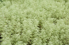 Herb roman wormwood Royalty Free Stock Image