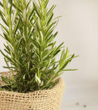 Herb rosemary bush in a pot. Rosemary bush in a pot. Herb Stock Photography