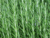 Herb Rosemary Rosmarinus Officinalis. Fresh green leaves of herb Rosemary Rosmarinus Officinalis Stock Image