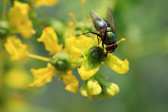 Herb Ruta graveolens with a fly Stock Photography