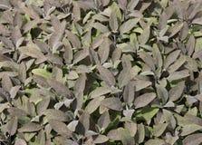 Herb Sage. Royalty Free Stock Image