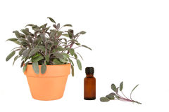 Herb Sage Royalty Free Stock Photo