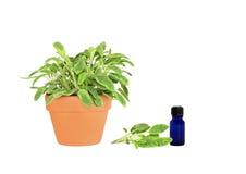 Herb Sage Stock Image