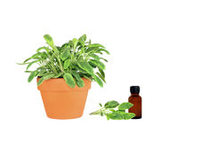 Herb Sage Stock Photography