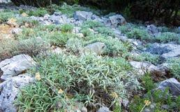 Herb sage Royalty Free Stock Image