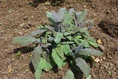 Herb sage Stock Photos