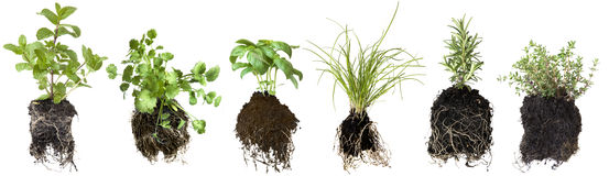 Herb Seedlings. Collection of herb seedlings, isolated on white.  Includes mint, coriander or cilantro, basil, chives, thyme and rosemary Royalty Free Stock Image