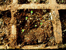 Herb Seedlings. Tiny herb seedlings, just a few days old are growing in a peat box Royalty Free Stock Photo
