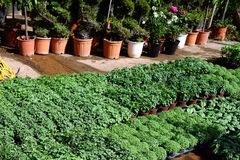 Herb Seedlings in Plant Nursery. Young green herb seedlings, including basil, in oots, for sale at plant nursery Royalty Free Stock Image