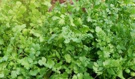 Herb Series Coriander /Cilantro images libres de droits