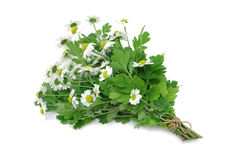 Herb Series Feverfew Royalty Free Stock Photo
