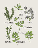 Herb for spices and seasoning Illustration Hand Draw. Herb Illustration. It's seamless pattern for repeat and continued Stock Photo