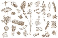 Herb and spices set. Set of vector sketches of  herbs used as spices Royalty Free Stock Photo