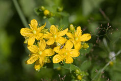 Herb St. John's wort close up royalty free stock image