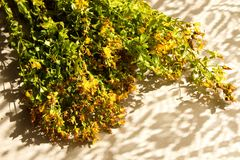 Herb St. John`s wort dry bouquet stock images