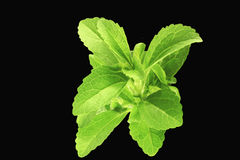 Herb steviacloseup in black background Stock Photos