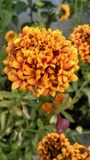 Herb of the sun ` marigold flowers` royalty free stock photography