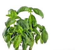 Herb sweet basil Stock Photos