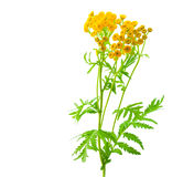 Herb tansy royalty free stock images