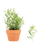 Herb Tarragon Royalty Free Stock Photo