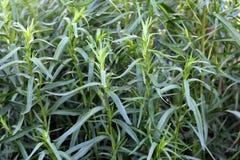 Herb tarragon. Growing in the garden green grass tarragon royalty free stock photo