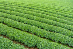 The herb tea plant or Camellia sinensis field Royalty Free Stock Photo