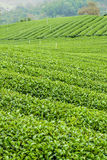 The herb tea plant or Camellia sinensis field Royalty Free Stock Images