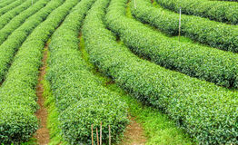 The herb tea plant or Camellia sinensis field. On Mae Salong mountain in Chiang Rai, Northern Thailand stock photo