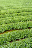 The herb tea plant or Camellia sinensis field Stock Image
