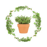 Herb Thyme. Thyme herb leaf sprigs forming a circular garland with a terracotta pot of thyme set inside, over a white background stock photography