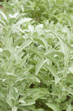 Herb white sage Royalty Free Stock Photos