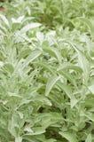 Herb white sage. Growing in garden royalty free stock photos