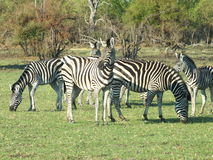 Herb of Zebra South Africa. A small herd of Zebra grazing Royalty Free Stock Photo