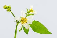 Herba Bidentis Pilosa Royalty Free Stock Photo