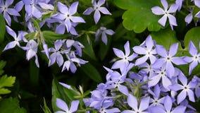 Herbacea della vinca Fiori blu della vinca sull'aiola nel giardino Fucilazione della videoripresa della macchina fotografica stat archivi video