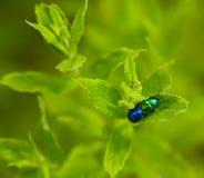 Herbacea van Chrysolina Royalty-vrije Stock Foto's