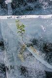 Herbaceous зеленое растение замерло в льде красивой зимы Lake Baikal Стоковые Фотографии RF