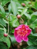 herbaceous пион Стоковые Фотографии RF