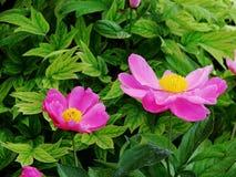 herbaceous пион Стоковая Фотография RF