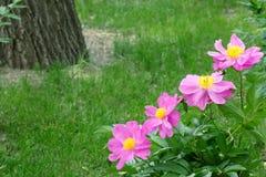 herbaceous пион Стоковые Фото