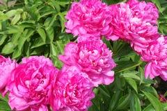 Herbaceous цветки пиона Стоковые Изображения RF