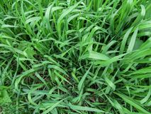 Herbaceous background of juicy high green couch grass close-up. Fresh young bright grass Elymus repens creates the effect of a beautiful herbal texture Stock Photos