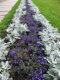 Herbaceous border of Lobelia and Cineraria Stock Images