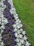 Herbaceous border of Lobelia and Cineraria Stock Image