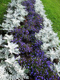 Herbaceous border of Lobelia and Cineraria Royalty Free Stock Photo