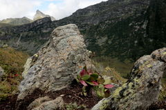 Herbaceous broadleaf plant `Badan`. Large rocks high in the mountains with small vegetation are typical of the landscape of the nature Park `Ergaki` in the Royalty Free Stock Photography