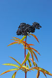 Herbaceous elder berries Stock Images