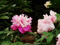 Herbaceous peony Royalty Free Stock Photo