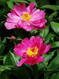 Herbaceous peony Royalty Free Stock Images